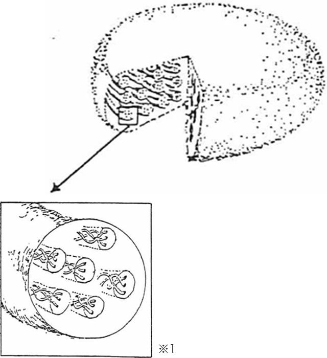 パラミロン顆粒の三重螺旋構造